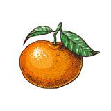 Tangerine hand drawn vector illustration.
