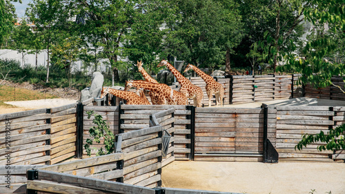 Poster Family of giraffes in an adapted zoo in Paris