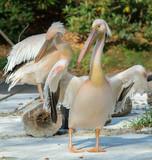 Pelikan Różowy
