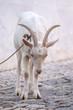 white goat on the street