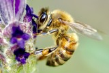 bees over Lavender