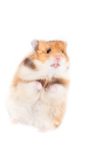 adorable hamster standing on his rear paws