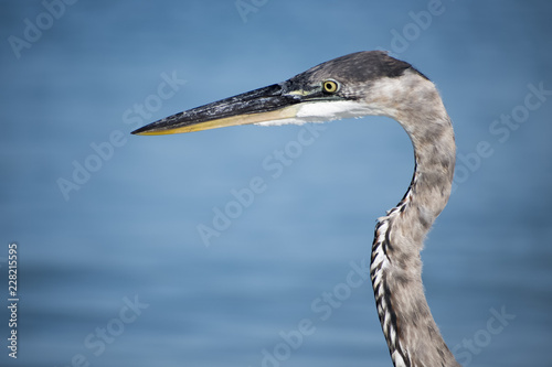 Foto Murales bird, heron, nature, egret, wildlife, animal, water, beak, blue, great, great blue heron, white, florida, wild, grey, lake, eye, neck, portrait, closeup, large, feathers, beach