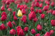 Spring Tulips, one yellow