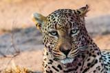 Torchwood Male Leopard - Sabi Sands, South Africa