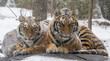 Snow falling on tigers that are cuddling on a rock