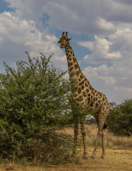 A Giraffe stands tall isolated in the African wilderness image with copy space in portrait format © Richard