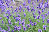 English lavender or lavandula angustifolia melissa lilac purple flowers  - 228244376