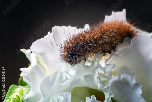 Pomarańczowy grub na kwiat biały kwiat