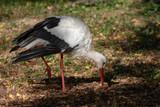 White stork wlking on the ground