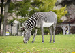 Zebra. Zebras are a variety of wild horses. All zebras have the same type of coloring is black and white stripes.