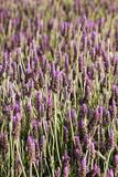 Lavender, bright purple