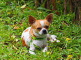Chihuahua Dog  Looks stressful and sleepy.