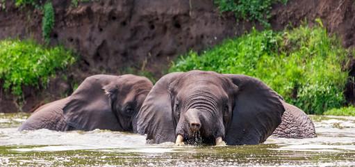 African elephants in the Queen Elizabeth National Park, Kazinga Channel (Uganda)