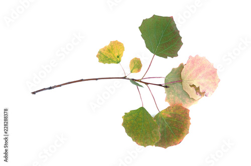 Dry birch tree branch with autumn leaves isolated on white background. - 228288378