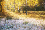 Grass in the morning frost against the backdrop of sunny autumn birch forest. Autumn forest.  - 228291566