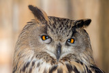 large eagle-owl closeup on brown - 228291912