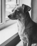 black and white dog portrait of chihuahua