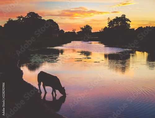 silhouette of cow at sunset
