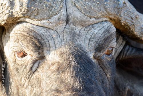 Naklejka Büffel