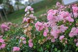 Fairy Rosen Pfingstrosen gelb rose rosa rot weiß blüten