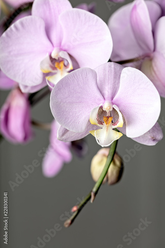 Wall mural Pink Phalaenopsis orchid flower, close up on gray background. Vertical cpmposition