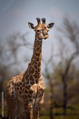 Naklejka Dziecko żyrafa