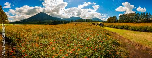 霧島 生駒高原のコスモス