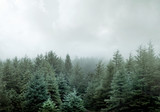 Wild Pine Forest In Low Clouds And Fog
