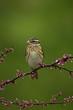 Rose-breasted Grosbeak female taken in southern MN