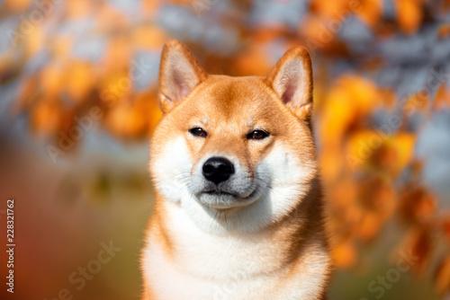 Portrait of a dog breed Shiba inu in autumn Park.