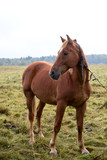 Bay horse on pasture
