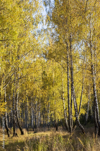 Birch forest in the early autumn. - 228340742