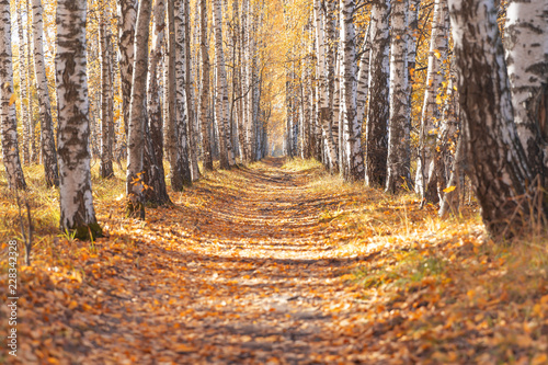 Autumn birch alley.walkway between trees for a walk. - 228342328