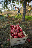 Farmers picking apples in the orchard - 228355521