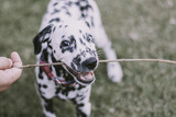 dalmatian dog with heterochromia playing with branch