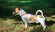 Parson Jack Russell Terrier standing in a green grass