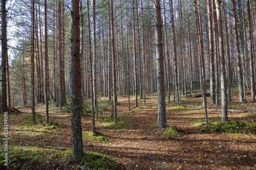 Beautiful Karelian forest landscape in early autumn in Russia