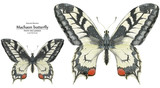 Watercolor illustration Two Machaon Butterflies - 228412111