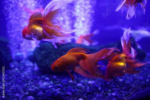 Leinwandbild Motiv Many beautiful colored goldfish in the water. Underwater world