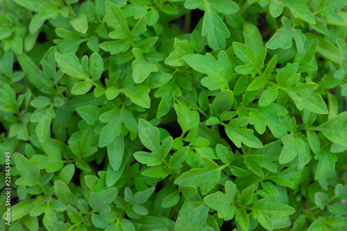 Tomato green leaves top view for nature background - 228434949