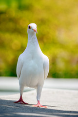 full body of white feather speed racing pigeon bird standing against yellow blur background