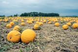 Yellow pumpkin field