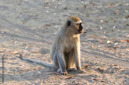 Vervet monkey in Botswana