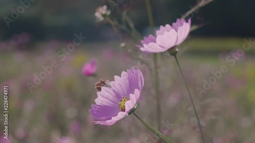 Two Pink, Sunlit Cosmos Flowers with Bokeh