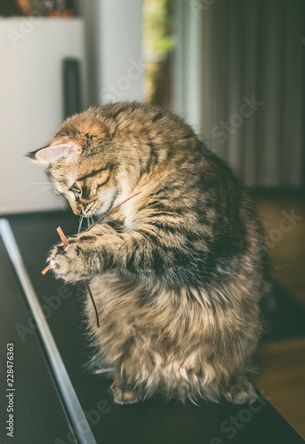 Fluffy cat sits on its hind legs and holds grass in its front paws, indoor. Funny cat  plays. Siberian cat