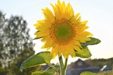 sunflower on background of blue sky