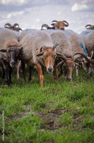 Sheep storming forwards