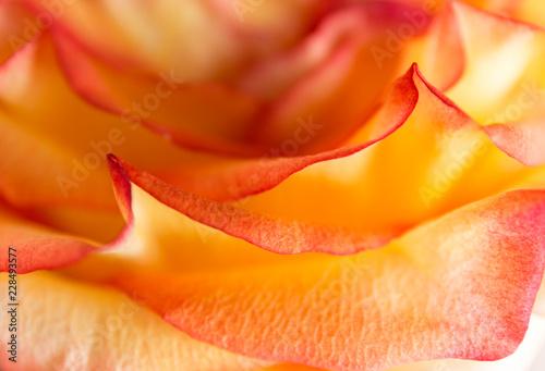 Miękki kwiatowy żółty streszczenie tło. Makro rozmycie kwiatów. Multicolor pomarańczowy róża.