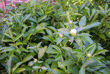 Peony. Peony bud. Spring flowers and green leaf